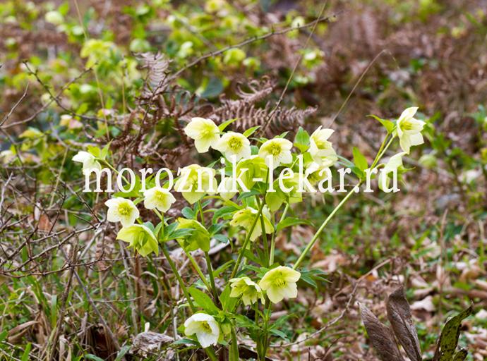 Красивый куст морозника Кавказского в лесу
