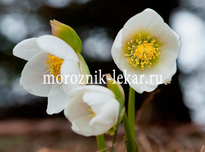 Цветки морозника кавказкого крупным планом