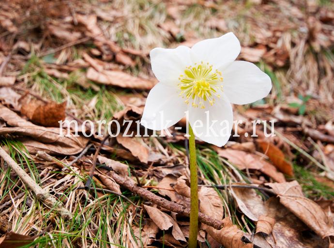 Фотография цветочка морозника