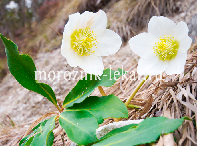Фото цветов морозника Кавказского