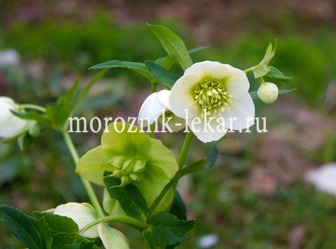 Цветки морозника Кавказского раней весной